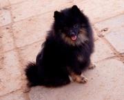 Малого шпица щенок черно-подпалого окраса