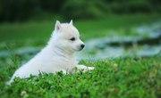 Сибирские Хаски щенки,  от питомника