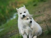 Шикарные щенки Сибирских Хаски