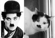 Кот Чаплин,  кастрирован.