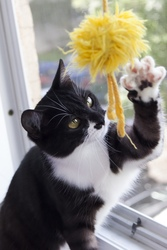 Котенок  Марлен,  9 мес. Кастрирована
