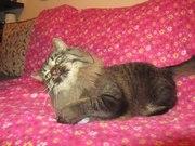 Кот- красавец  Альфа,  кастрирован.